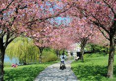 8104 Hamburg im Frühling - Japanische Kirschen am Ufer der Alster im Hamburger Stadtteil Hohenfelde - rosa Blütenpracht der Zierbäume in der Sonne. | Flickr - Photo Sharing!