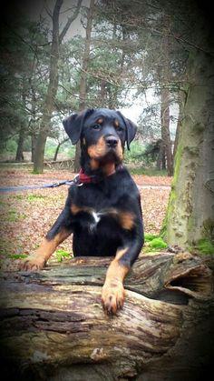Dolly # Rottweiler x Boerboel 15 weken