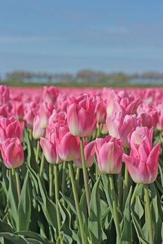 Bulbs Tulip Dynasty has the most beautiful shade of pink. Plant some tulip bulbs in your garden now to enjoy a garden full of flowers next srping! Beautiful Flowers Pictures, Flower Pictures, Pretty Flowers, Beautiful Birds, Flower Farm, My Flower, Flower Power, Planting Bulbs, Planting Flowers