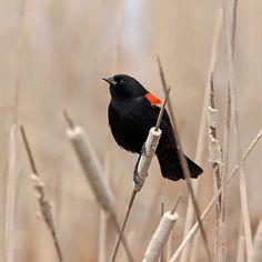Herald Of Spring - Guelph Ontario Canada #art #photography #birds #redwingedblackbird #birders #birding #nature #naturelovers #artforsale #spring