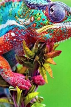 In the secret world of chameleon ranching (VIDEO) . - In the secret world of chameleon ranching (VIDEO) … – In the mysterious w - Jungle Animals, Cute Baby Animals, Farm Animals, Animals And Pets, Funny Animals, Wild Animals, Beautiful Creatures, Animals Beautiful, Types Of Chameleons