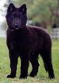 Groenendael Shepherd Dog | Shepherd Groenendael Information and Pictures, Belgian Shepherd ...