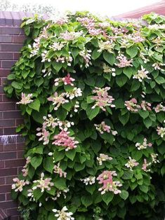 Picking the Ideal Location for your Garden Flowers Perennials, Planting Flowers, Hortensia Hydrangea, Climbing Hydrangea, Colorful Plants, Flowering Vines, Garden Care, Garden Trees, Outdoor Plants