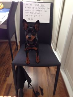 Dog Shaming - min pin Oili modifies new furniture