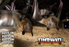 These guys would make Bruce Wayne Proud. Where's Alfred when you need him? We're open for tours daily at 11AM and 1PM #TimbavatiWildlifePark #WisconsinDells #Wisconsin #Wildlife #Adventure #DailyTours #CloseEncounter #Bats #BatsOn