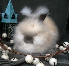 102 best english angora rabbit in precious memory of my adorable