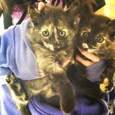 filhotinhos de gato para adoção na PetHouse 408Sul