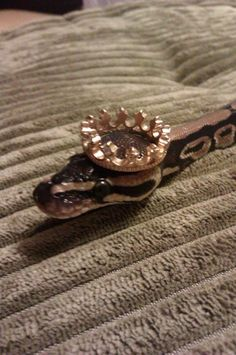 snake crown zeus Ball python python i cant believe he let me do this snakes in hats tiny king royal python i cant believe i didnt think of that pun thanks guy that thought of that pun Pretty Snakes, Cool Snakes, Beautiful Snakes, Cute Baby Animals, Animals And Pets, Funny Animals, Cute Reptiles, Reptiles And Amphibians, Snakes With Hats