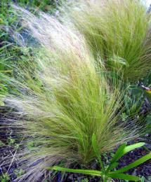 What to Plant Next to Your Swimming Pool: Ornamental Grasses