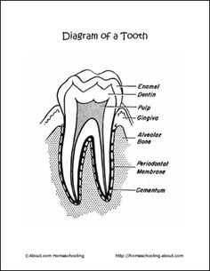 Parts Of A Tooth Worksheet Click Here Parts Of A Tooth