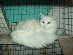 Cotton - Collegeville PA is an adoptable Maine Coon Cat in Collegeville, PA. Cotton lived with an elderly lady, Josie, who doted on him, and he on her.   When she died 2 years ago, his foster family t...