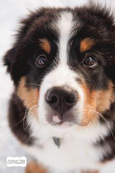 Sullivan the Bernese Mountain Dog   Family Portraits   Ashleigh Miller…