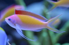 Dispar Anthia Fish