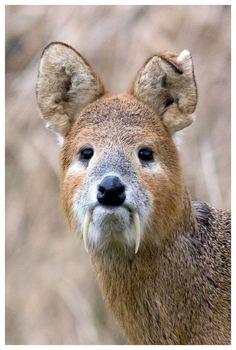 "Chinese Water Deer a. ""Vampire Deer"" / ""Chinese Water Deer that run wild on Woodwalton Fen nature reserve, Cambridgeshire, UK. Bizarre Animals, Unusual Animals, Rare Animals, Animals Beautiful, Animals And Pets, Funny Animals, Exotic Animals, Wild Animals, Animals Amazing"