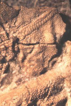 Fossilized skin from a Sauropod Dinosaur embryo.