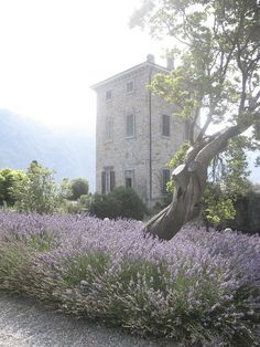 Beautiful Italian farmhouse in a field of lavender. Lavender Cottage, Lavender Garden, French Lavender, Lavender Fields, Lavander, Provence, Beautiful Gardens, Beautiful Flowers, Beautiful Places