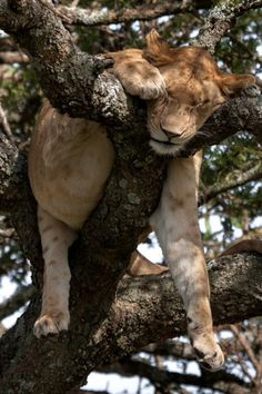 Wild Earth lion in a tree Crazy Cat Lady, Crazy Cats, Big Cats, Cool Cats, Animals And Pets, Baby Animals, Cute Animals, Beautiful Cats, Animals Beautiful