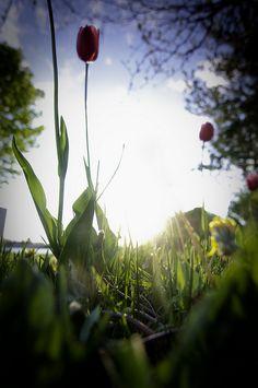 tulip (emwcenter.com)