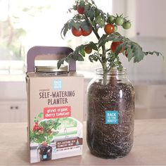 Self-Watering Tomato Planter | Grown Your Own Tomatoes | UncommonGoods Growing Cherry Tomatoes, Growing Tomatoes Indoors, Growing Tomatoes In Containers, Grow Tomatoes, Baby Tomatoes, Growing Vegetables, Growing Plants, Mason Jar Garden, Mason Jars