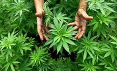Gardeners in Göttingen, central Germany, have had to rip up hemp plants from the city's flower beds after a pro-cannabis group planted the seeds. The distinctive leaves do not, head of town planning said, look good alongside marigolds.