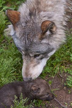 Female Lone Wolf. : Photo