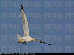 Yellow-legged Gull (Larus michahellis), Crete, Greece (agefotostock)