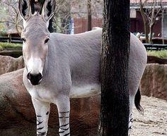O Asno Selvagem Africano é um equino nativo do norte e nordeste da África. A subespécie está em extinção por causa da domesticação e da destruição do meio ambiente. Existem pouco mais de 500 exemplares na natureza