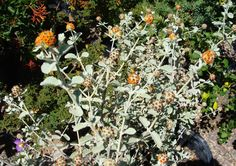 Buddleia marrubifolia. Wooly Butterflybush. Non-native evergreen, herbaceous perennial. Tough plant. Orange blossoms. Informal habit. Attracts butterflies & hummingbirds. Full sun. Moderate-fast grower.