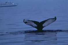 Winter Wildlife Watching off the coast of Virginia Beach, Virginia. Humpback and Fin whales migrate between the end of December and mid-March. It's an amazing site and winter 2014 has NOT disappointed!