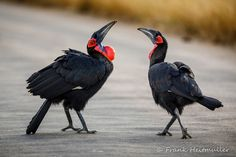 The dance of Southern Ground-Hornbill.  Not sure if it was an offering, a tease and teaching moment or what, but the one with the snail pranced around and waited for the other to come close, holding high up and just when it went for it, he swallowed it turned around and walked off.  With Christa Goosen Photography #wildography