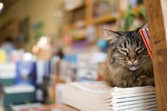 adorable!  every book store DOES need a kitty.    Bookstore Cat by texasgurl, via Flickr