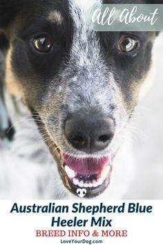 Thinking of adopting an Australian Shepherd Blue Heeler mix? Aussie Shepherd Puppy, Australian Shepherd Blue Heeler, Shepherd Mix Dog, Australian Shepherd Puppies, Aussie Dogs, Australian Cattle Dog, Norwegian Elkhound, Labrador Retriever Dog, Bull Terrier Dog