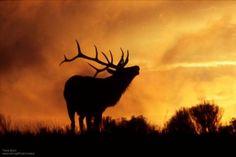 Sunrise and Sunset Photos Capture Stunning Wildlife Silhouettes Elk Silhouette, Sunset Silhouette, Silhouette Painting, Elk Bugle, Sad Drawings, Skull Painting, Rock Painting, Silhouette Photography, Oil Pastel Art