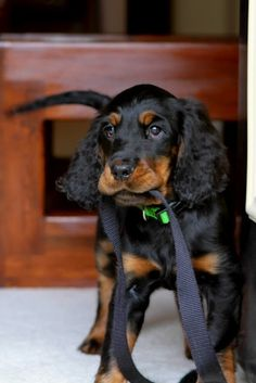 Gordon Setter puppy - reminds me of our dearly departed Loki