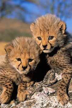 Cheetah cubs have got to be the cutest big cat cubs for sure (: