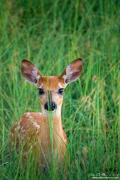 White-tailed Deer Fawn In Grass by John De Bord Photography on 500px