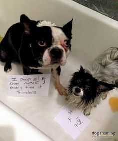 Every time it thunders, our Boston terrier (Oakley) poops uncontrollably…. Poor baby. But to make matters worse, our papillon (Aida) has thi...