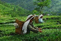 Glenburn Tea Estate in Darjeeling, India