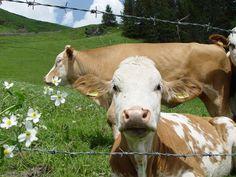 Tirol Austria Meadow with Blond Cows [2048x1536] (OC)