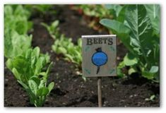 planning vegetable garden layout | beets sign in front of beet plants growing in a garden