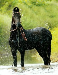During the British administration, the great glory of the centuries-old Marwari faded almost to nothing and the breed became imperiled. All The Pretty Horses, Beautiful Horses, Animals Beautiful, Kathiyawadi Horse, Horse Love, War Horses, Zoo 2, Zebras, Marwari Horses