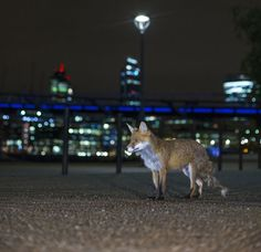 Red foxes are common urban residents and can be spotted roaming the parks and streets at night.