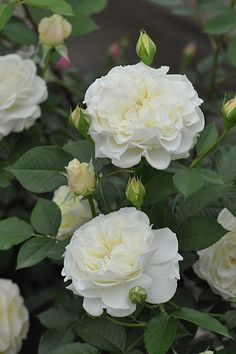 white roses with buds