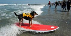Defending champion surfing dog Abbie rides a wave during the Loews Surf Dog Competition in Imperial Beach, California June 4, 2011. © Denis Poroy/Newscom/Reuters