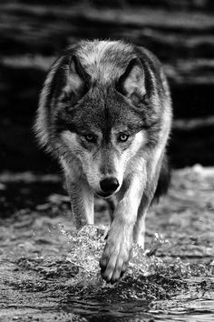 Wolf Walking within water