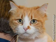 A1691722 – Goldie is a 7-year-old female, orange tabby domestic long-hair. Goldie would love to be your great friend around the house. She is playful, sweet and charming. You can find her at Lucky Paws in Coronado Mall.  www.cabq.gov/pets or call local 311