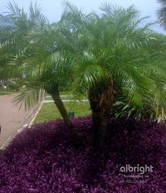 Robelenii palm trees with purple queen / purple heart ground cover. Backyard Beach, Tropical Backyard, Tropical Landscaping, Landscaping With Rocks, Landscaping Plants, Tropical Gardens, Front Entry Landscaping, Purple Heart Plant, Mulch Around Trees