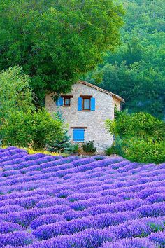 Lavender in Provence, France. Imagine how wonderful this smells!