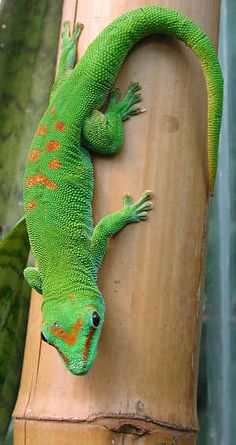 Phelsuma madagascariensis is a species of day gecko that lives in Madagascar.