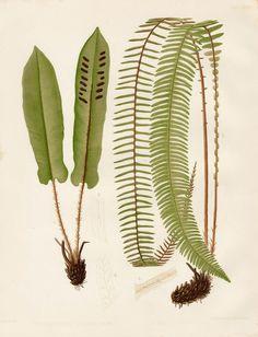 Scolopendrium Vulgare